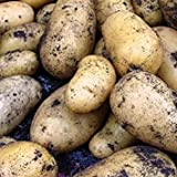 buy IDEA HIGH Sycamore Trading Seed Potatoes Charlotte x 20 Tubers now, new 2019-2018 bestseller, review and Photo, best price $22.07