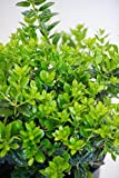 Ilex cornuta 'Needlepoint', Chinese Horned Holly (1 Tray (50 - 2 inch plants))