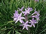10 seeds Society-Garlic-Seeds-Tulbaghia-Violacea