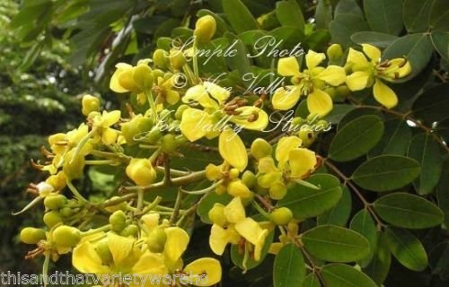 Cassia Siamea Kassod Tree Seeds Sunny Yellow Blooms Popcorn Scented Leaves! (Popcorn Factor)