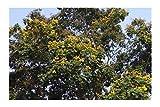 Yellow Flame Tree 15 Seeds Rare Exotic Tropical Tree Yellow Blossoms Easy Ornamental or Standard Peltophorum pterocarpum