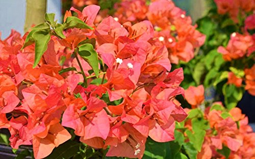 Bougainvillea Orange live plant by Inspired (Image #1)