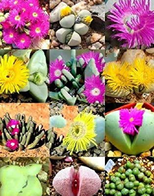 COLOR ARGYRODERMA MIX succulent cactus mixed living stones rocks seed 100 SEEDS