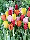 10 Easter Joy Mix Tulip Bulbs - Tulipa Triumph