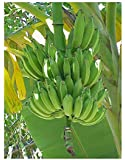 Seeds and Things Dwarf Cavendish Banana Tree- 6 Seeds - Musa acuminate by Seeds and Things