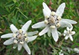 "Organic Flower Seeds White Edelweiss""Alpine"" (leontopodium alpinum) - 100 Seeds"