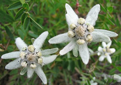 Organic Flower Seeds White Edelweiss