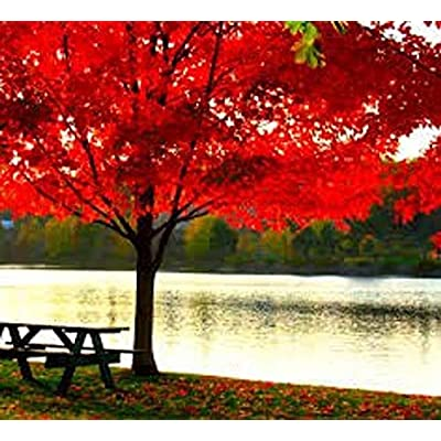 AchmadAnam - Live Plant - 2- Live Nice Red Maple Trees! Landscape Trees. E18 : Garden & Outdoor