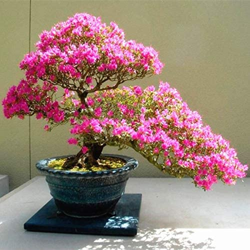 Amazon Com Multicolor Cherry Blossoms Bonsai Sakura Blossoms Beautiful Perennial Cherry Tree 10 Pcs