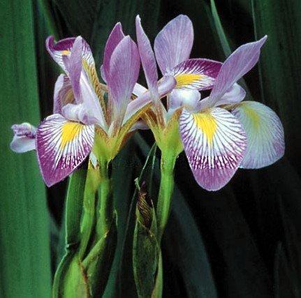 - Southern Blue Flag Iris 10 Seeds-Iris virginica-Aquatic