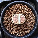 多肉植物:リトープス トップレッド*幅2cm