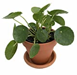 "Chinese Money Plant - Pass It On Plant - Pilea peperomioides- 4"" Clay Pot/Saucer"