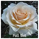 10 Full Sail Hybrid Tea Rose Seeds
