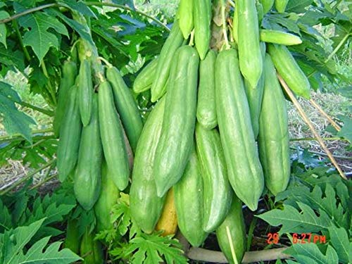 20+ Seeds Thai Organic Papaya (KEAKDUM) Seeds, Giant Papaya Tree Seeds, Vegetable Seeds, Organic Fruit Seeds Plant (Non GMO), Perfect for Home Garden. (Free : Thai Organic Seeds 1 Package)