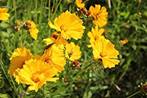 5 Pound Seeds of Lance Leaf Coreopsis