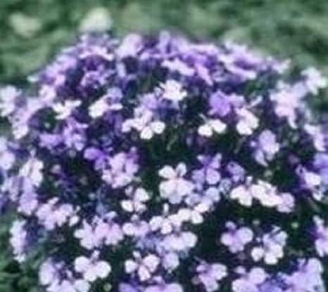 Generic Lobelia Riviera Lilac Seeds Amazonin Garden Outdoors