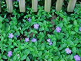 100 (15-20 leads) Vinca Minor, Periwinkle, graveyard, ground cover vines