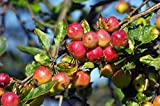 6-7' (Seed-Grown / Fruiting Size) of American Crabapple Tree