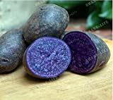 buy New purple Potato 200+ Seeds - Solanum tuberosum now, new 2018-2017 bestseller, review and Photo, best price $3.70