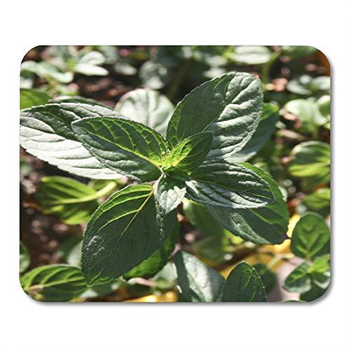 Emvency Mouse Pads Bright Aroma Pedilanthus Tithymaloides Nana Green Devil's Backbone Mint Plant in Pot Close Up Beverage Mouse Pad 9.5