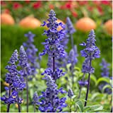 Package of 800 Seeds, Sapphire Blue Sage (Salvia farinacea) Non-GMO Seeds By Seed Needs