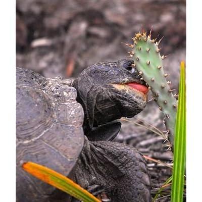 Organic - 6 Spineless Cactus Pads - Tortoise Turtle Iguana Food Nopales Opuntia : Garden & Outdoor