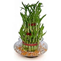 Abana Homes 3 Layers Lucky Bamboo Plant Indoor in Glass Pot (3 Layer Bamboo)