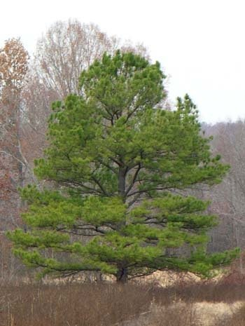 50 Loblolly Pine Tree Seeds, Pinus Taeda