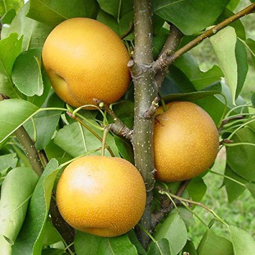 Chojuro Asian Pear Standard Bareroot Tree - Ships 3-4' Tall and/or with a 3/8'' or Larger Trunk Diameter. by Stark Bro's (Image #3)