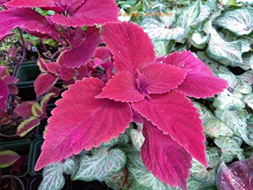COLEUS - RED HEAD - 2 LIVE PLANTS - 3