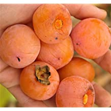 2 AMERICAN PERSIMMON FRUIT TREES LIVE PLANTS DIOSPYROS LANDSCAPING PLANTS