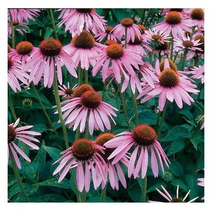 (David's Garden Seeds Herb Echinacea Purpurea SL5555 (Purple) 500 Non-GMO, Heirloom, Organic Seeds)