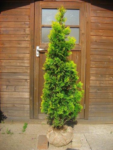 ヨーロッパゴールド 樹高1.2m前後 育てやすい人気のコニファー B00AQ7KQPQ