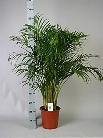 areca palm tree butterfly palm dypsis lutescens 120cm tall in 24cm