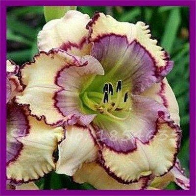 Seeds Shopp 100 Pcs/Bag Fresh Rare Hybrid Daylily Flowers Seeds Hemerocallis Lily Indoor Bonsai Home Garden Supplies