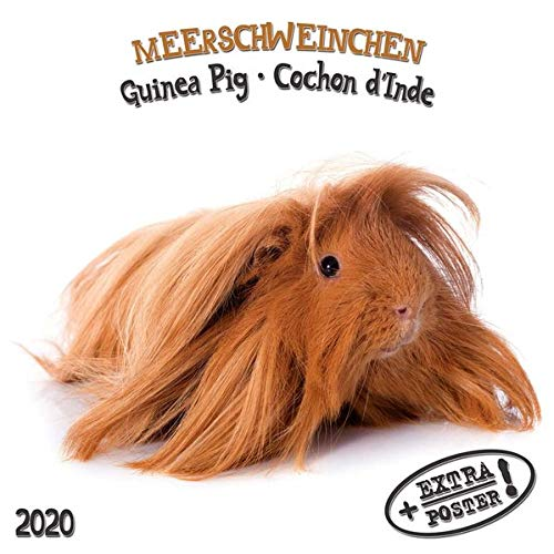 Meerschweinchen - Guinea Pig - Cochon dInde 2020 Artwork ...