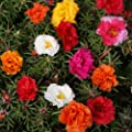 Outsidepride Moss Rose - Mix