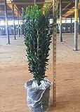 Plants by Mail 3120Q 2.5 Qt - Sky Pencil Holly | Upright Evergreen Shrub 15-24' Tall, Quart, Green