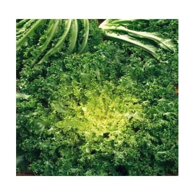 Endive riccia Cuore di oro Seeds (avg 30-50) Seeds 4 : Garden & Outdoor