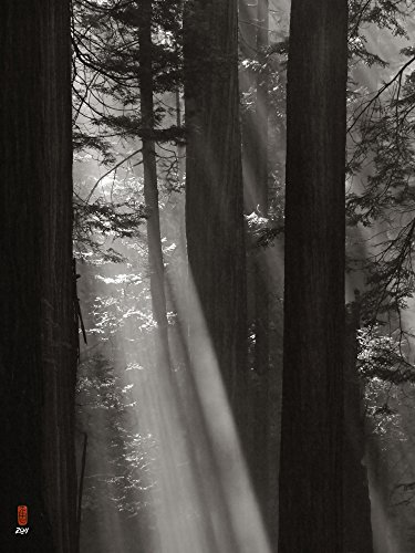 shafts of light, columns of redwood