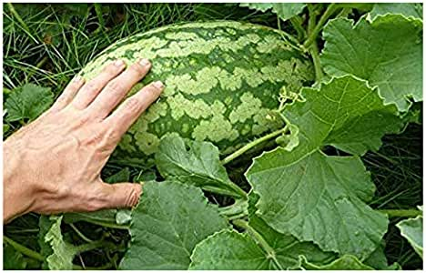 Potomac Banks Carolina Cross Giant Watermelon Seeds, 25 Count (Comes with Free How to Live Stress Free Ebook)