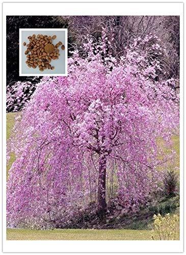 20 Pink Fountain Weeping Cherry Tree seedss DIY Home Garden Dwarf Tree seedss