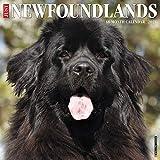 Just Newfoundlands 2021 Wall Calendar (Dog Breed Calendar)