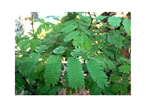 Seedusa LLC. 10 Seeds Acacia galpinii Monkey Thorn Tree price tips cheap
