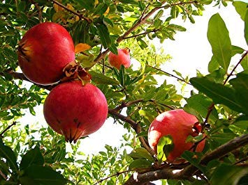 *Seeds and Things Organic Pomegranate 30 Plus Seeds - Punica Granatum