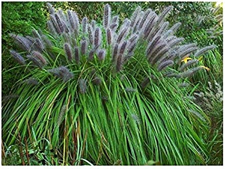 1 x Pennisetum alopecuroides Moudry XXL Topf Ziergras//Gr/äser//Stauden Lampenputzergras 5 Liter Topf
