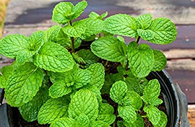 Home Garden - apple mint - for indoor and balcony cultivation; pineapple mint, woolly mint, round-leafed mint - seeds