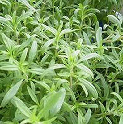 Savory, Summer Savory Seeds, Herb, Organic, NON- GMO, 25 seeds per package.