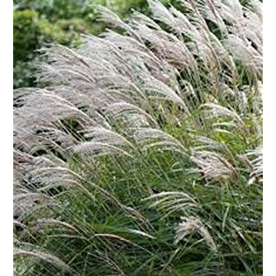 AchmadAnam - 18 Giant Miscanthus x giganteus Plants - 12 Ft Tall - 18 Deer Resistant Plants : Garden & Outdoor