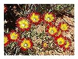 Drosanthemum micans - succulent - 10 seeds